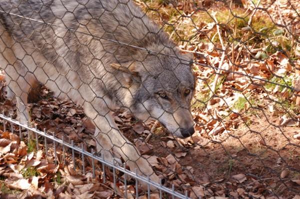 wolfsparkmerzig